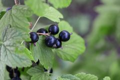 black currant grows on a branch in the garden, summer berries, royalty free stock photography