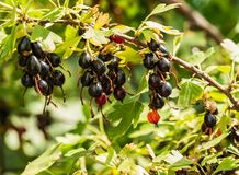 Black currant grows on a bush in the garden royalty free stock photo