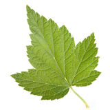 Black currant leaf Stock Images