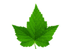 Black currant leaf. Royalty Free Stock Images