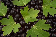 Black currant and leaves Royalty Free Stock Photos
