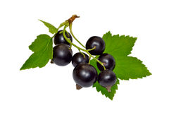 Black currant with leaves Stock Images