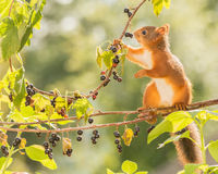Black currant look. Profile of red squirrel  standing and holding a  branch with black currant Royalty Free Stock Images