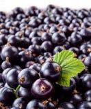 Black currant macro. Fresh organic berries. Stock Photography
