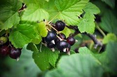 Black currant. Nature, greens, summer black flowers Stock Photos
