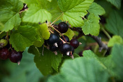 Black currant. Nature, greens, summer black flowers Royalty Free Stock Photo