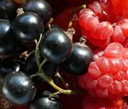Black currant and raspberries. Closeup royalty free stock image