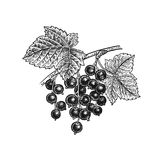 Black currant. Realistic hand drawing. royalty free illustration