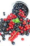 Black currant and red currant Stock Images