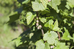 Black currant, ribes nigrum flowers Royalty Free Stock Photography
