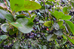 Black currant. Ribes nigrum. The black currant fruit on the branches of a tree. Edible berries of the black currant among the green foliage royalty free stock image