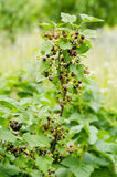 Black currant. Ribes nigrum in the garden Royalty Free Stock Photo