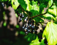 Black currant sunlight day in the garden green leaves Royalty Free Stock Photos