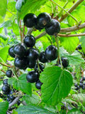 Black currant twig on the bush royalty free stock image