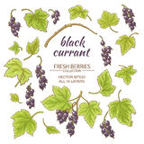 Black currant vector set. Black currant elements vector set on white background Royalty Free Stock Image