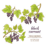 Black currant vector set. On white background Royalty Free Stock Images