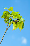Black Currants. Royalty Free Stock Photo