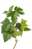 Black currants. (Ribes nigrum) with leaves Stock Photos