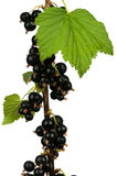 Black currants Stock Images
