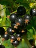 Black currants. Berries: black currants close-up Royalty Free Stock Photos