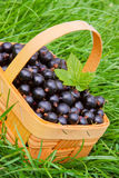 Black currants . Royalty Free Stock Image
