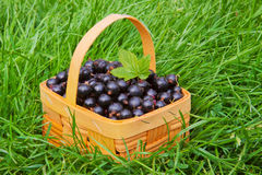 Black currants . Royalty Free Stock Images