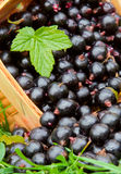 Black currants . Stock Images