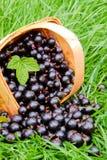 Black currants . Stock Photo