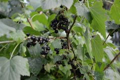 Black currants on a branch close-up in the garden royalty free stock photo