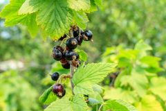 Black currants on the branch. Black currant on a branch in summer time Royalty Free Stock Images