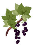 Black currants branch with leaves on transparent b Royalty Free Stock Photo