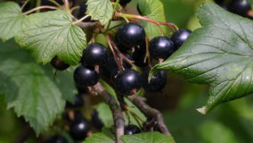 Black currants on the bush stock video footage