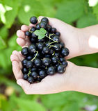Black currants is in the childs hands. Stock Images