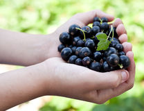Black currants is in the childs hands. royalty free stock photography