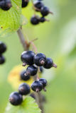 Black currants. Clusters of ripe black currants on the bush Royalty Free Stock Photo