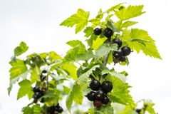 Black currants grow on the bush. Organic berries in the garden royalty free stock photo