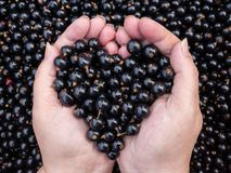 Black Currants in hands Stock Images