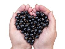 Black Currants in hands Royalty Free Stock Photo