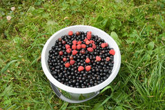 Black currants and raspberries in the bucket. On the green grass Royalty Free Stock Photo