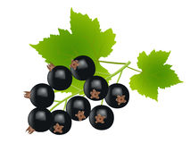 Black currants. On white background,drawing by illustration Stock Photo