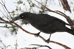 Black Currawong. A Black Currawong eating a fruit while perched in a tree amongst a snowy winter landscape. It has a bright yellow eye. The Black Currawong is stock photography