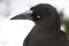 Black Currawong. A Black Currawong which is easily distinguishable by its large black beak, black plumage and bright yellow eye. The Black Currawong is endemic stock photography