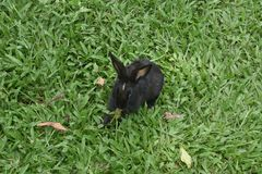 Black cute Indian rabbit playing stock photography