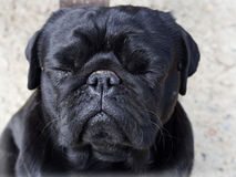 Black cute male pug stock image
