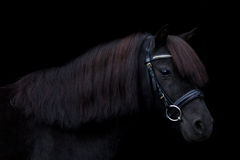 Black cute pony portrait on black background Stock Image