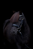 Black cute pony portrait on black background Stock Photos