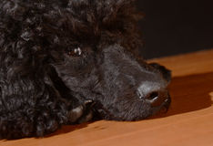 Black cute  poodle dog. On floor, watching guiltily Stock Image
