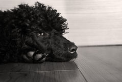 Black cute  poodle dog Royalty Free Stock Image