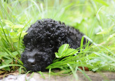 Black cute  Poodle in grass Royalty Free Stock Photos