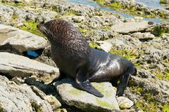 Black cute seal marine. Natural wildlife animal Stock Photo